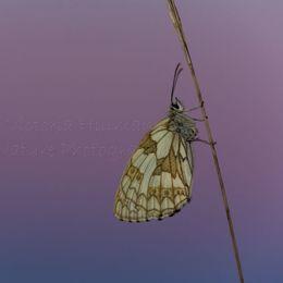 Evening Butterfly