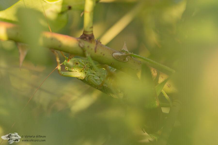 great green bush crickets