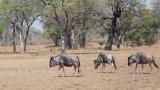 cooksons wildebeest