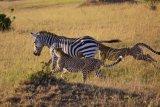 cheetahs & zebra