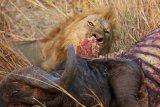 lion & carcass