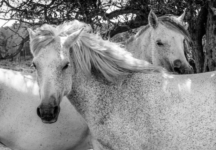 New Forest White Ponies print