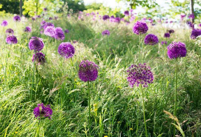 Allium Field