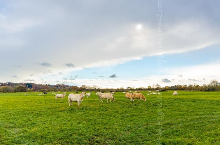 Fordingbridge New Forest print cows field