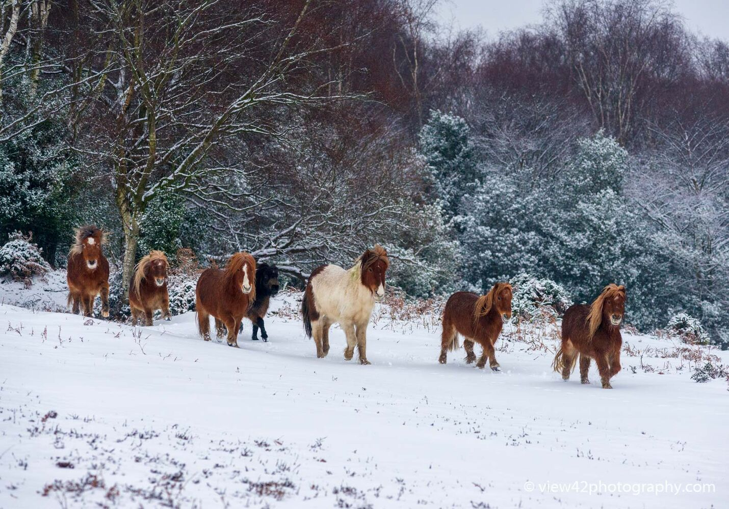 Shetland Ponies at Bramble Hill