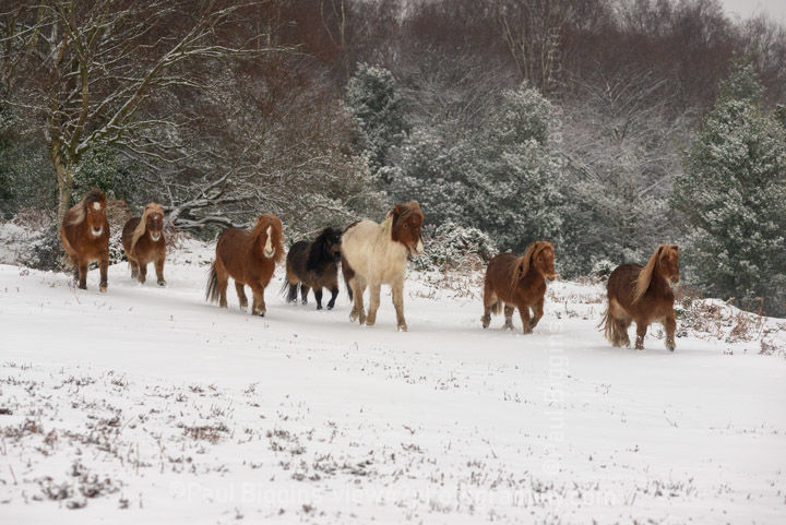 Shetland Ponies on The Forest 1
