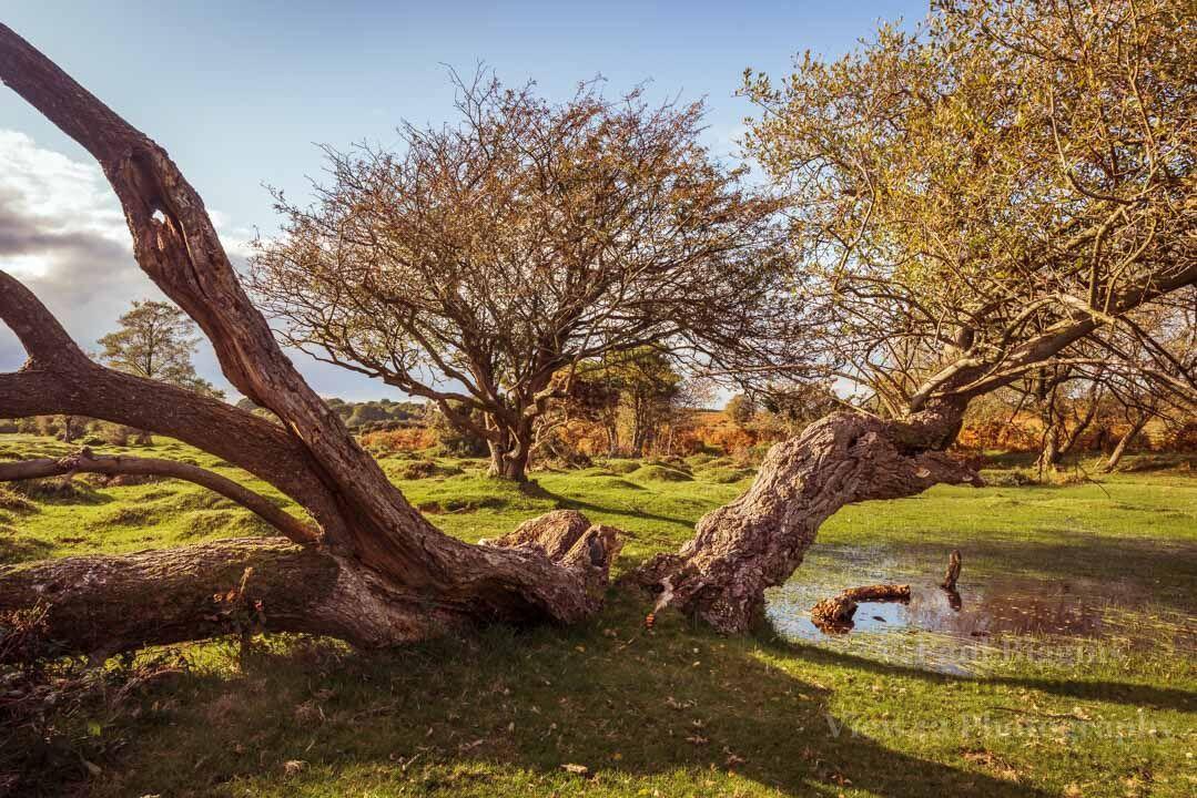 Ogdens Trees