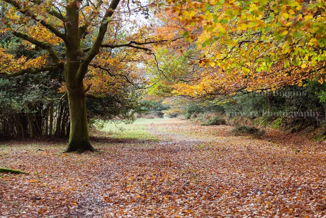 Autumn at Godshill Wood