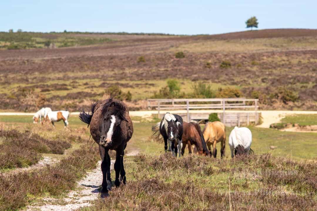 Ponies at Ashley Walk