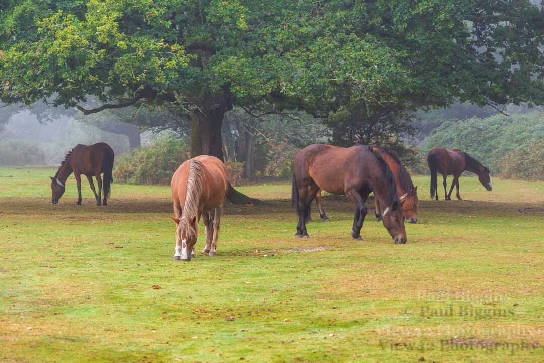 Ponies at Godshill Wood