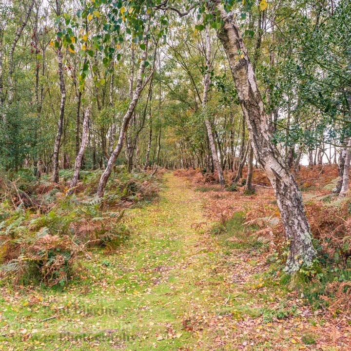 Autumn Birch, 30cm x 30cm with 40cm x 40cm mount