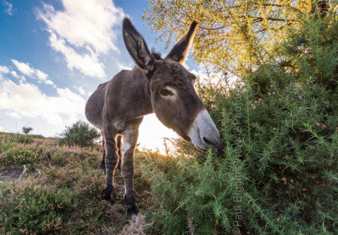 New Forest donkey print