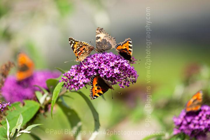 Butterflies buddleia small tortoiseshell painted lady
