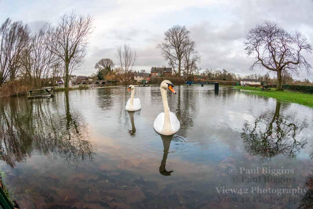 Swans in the Flood, Fordingbridge
