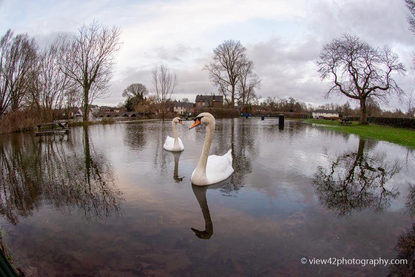 Swans at High River, Fordingbridge, December 2019
