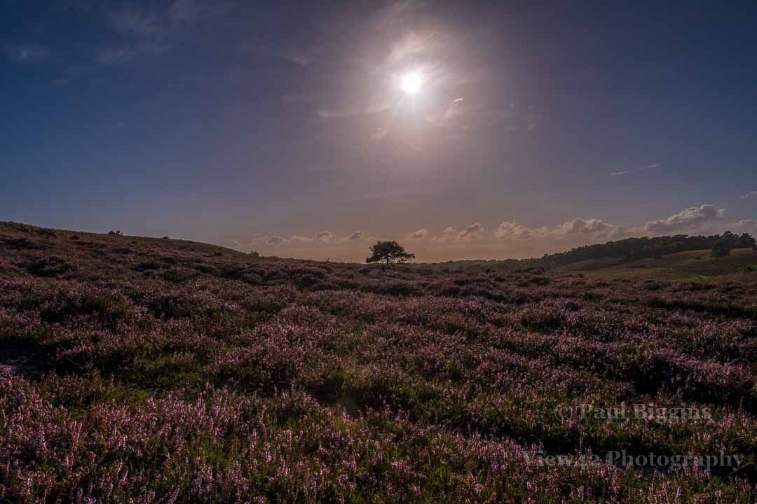 Ibsley Common in August