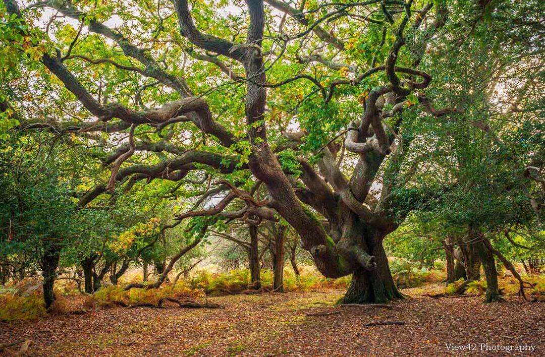 Sloden Oak, New Forest