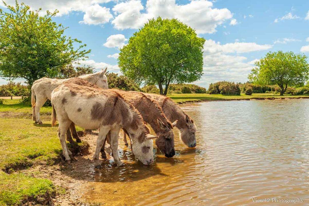 Donkeys at Janesmoor Pond