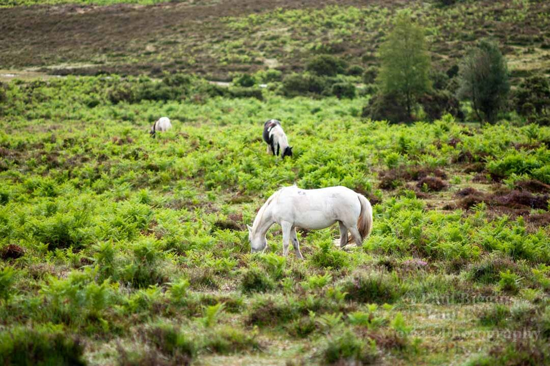 White Pony in Lush New Forest
