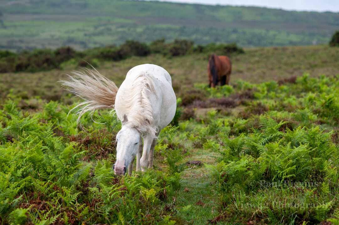 Swishing White Pony, New Forest
