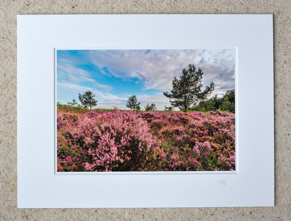 """New Forest Heather, A4 print with 16"""" x 12"""" mount. £20"""