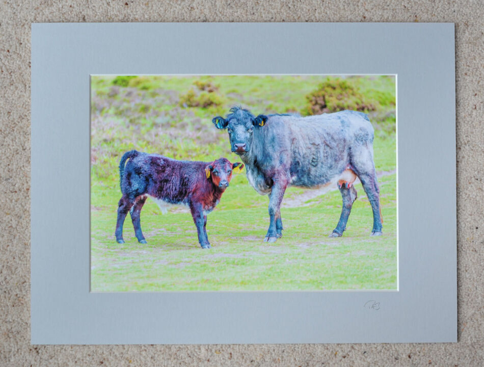 """Cows at Ditchend Bottom, A4 print with 16"""" x 12"""" mount. £20"""