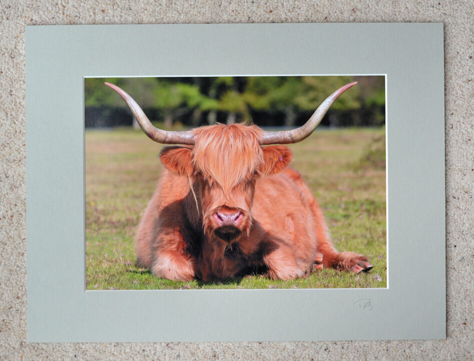 """New Forest, Highland Cow, A4 print with 16"""" x 12"""" mount. £20"""