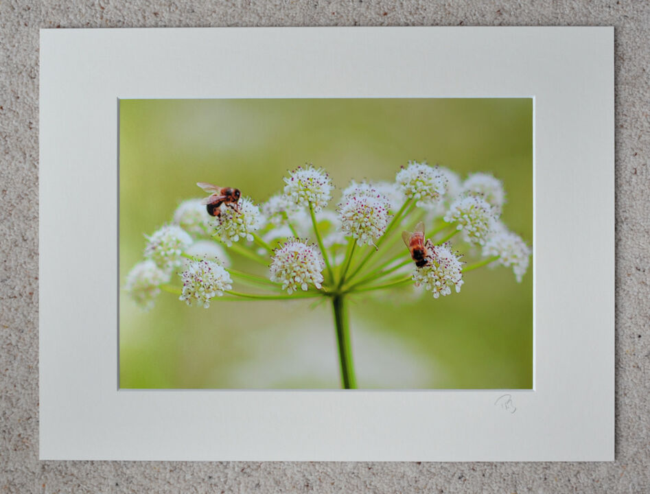 "Busy Bees on Water Hemlock, A4 print with 16"" x 12"" mount. £20"
