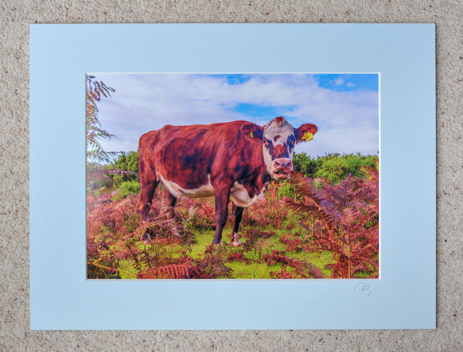 "New Forest Cow in Autumn Bracken, A4 print with 16"" x 12"" mount. £20"