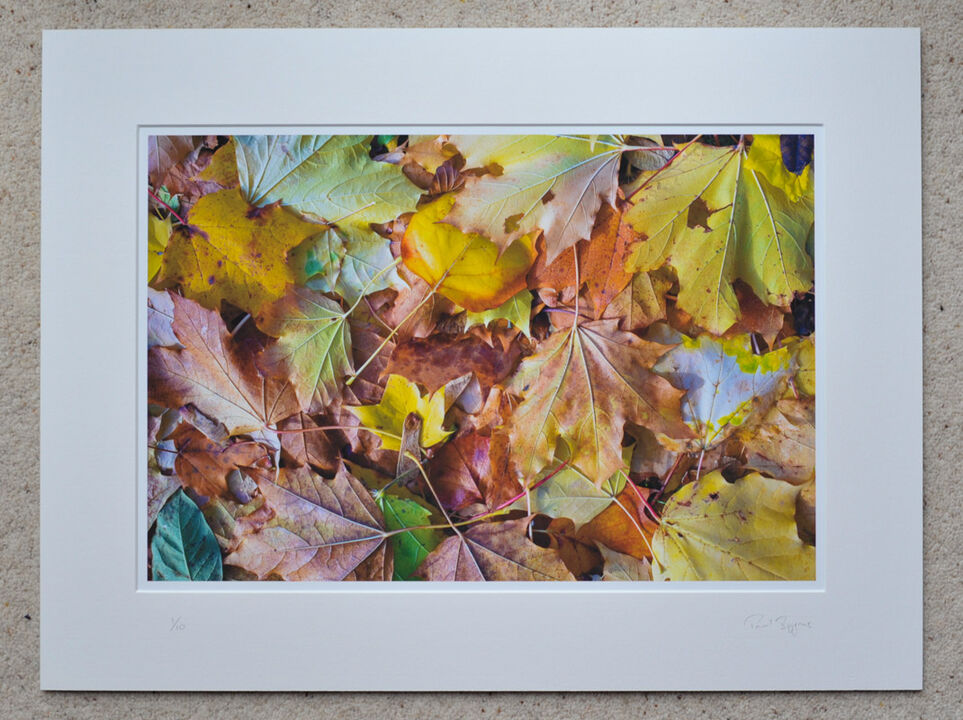 """Fallen Autumn Leaves 2, A3+ with 24"""" x 18"""" mount, fine art paper Limited Edition. £45"""