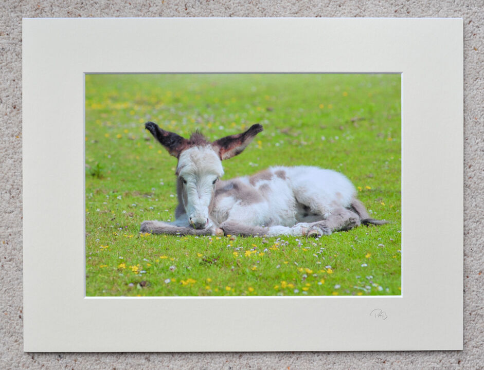 """New Forest New Donkey, A4 print with 16"""" x 12"""" mount. £20"""