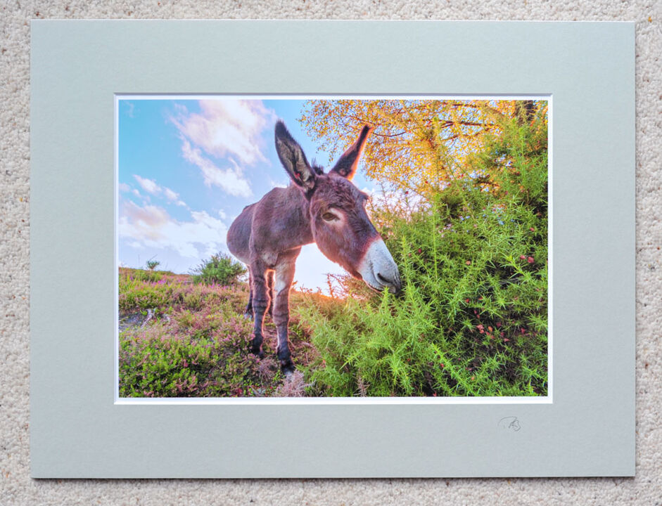 "Donkey and Gorse, The New Forest, A4 print with 16"" x 12"" mount. £20"