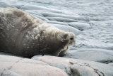 Weddall Seal 1