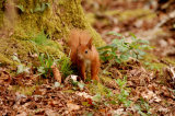 Squirrel Alverstone Mead