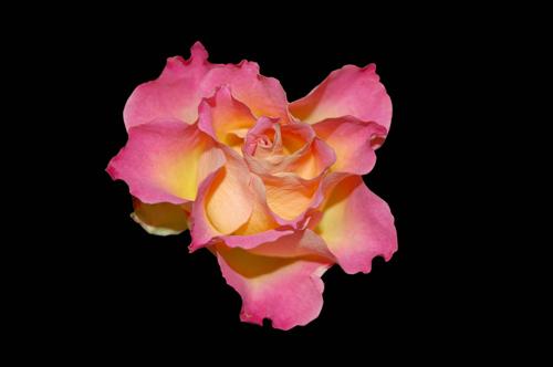 Rose Black Background