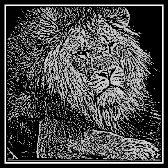 Male Lion at Colchester Zoo engraved onto 20 cm x 20 cm Black Glass