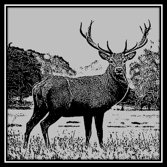 500 x 500 Stag 1