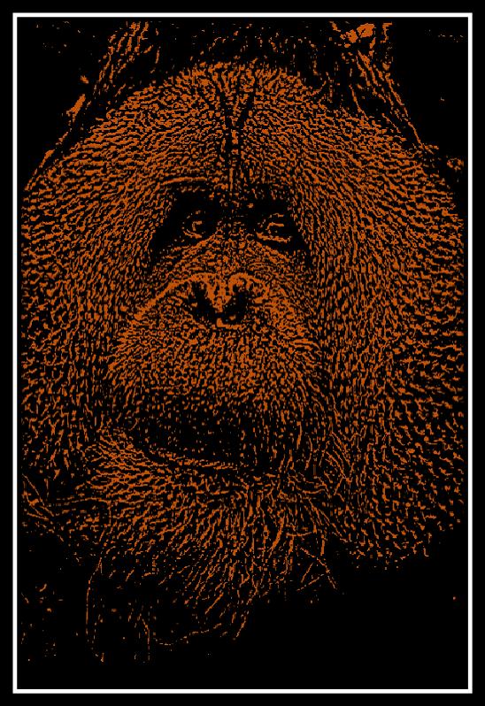 500 x 750 Orangutan