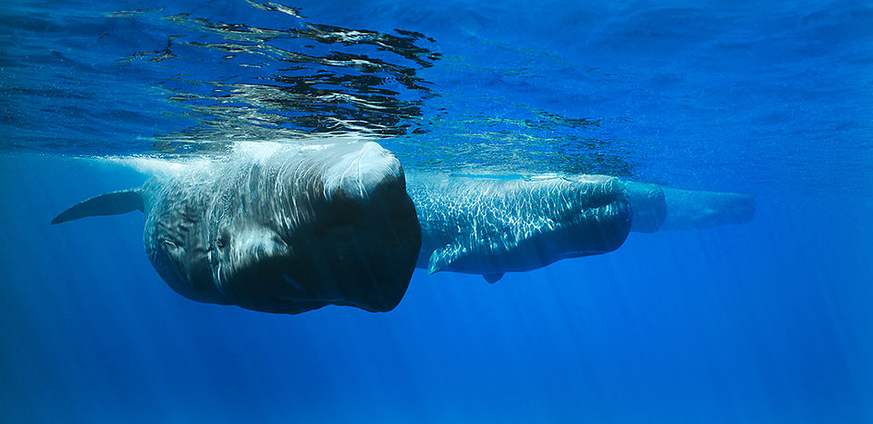 Four Sperm Whales in a line, Trincomalee, Sri Lanka