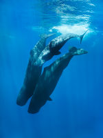 Family group of diving Sperm Whales, Trincomalee, Sri Lanka