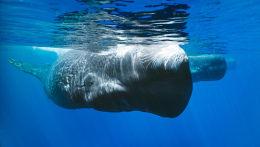 Sperm Whale Trincomalee, Sri Lanka