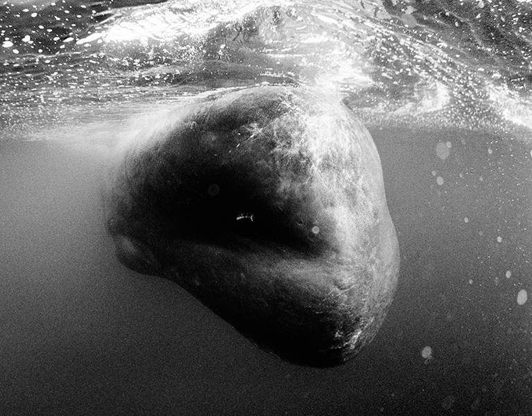 Evening Sperm Whale, Azores
