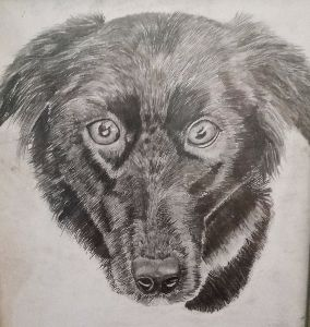 Boarder Collie Cross pencil Drawing