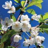 52. Crann Silín, Wild Cherry