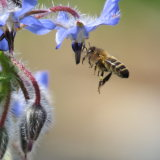 48. Bee and Borage