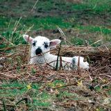 84. Uan Beag, Little Lamb