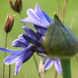 46. Blue Agapanthus