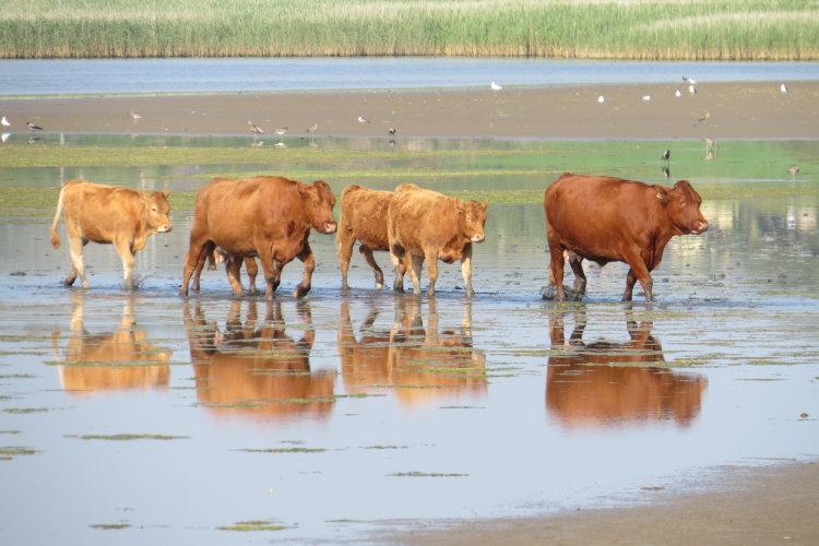 89. Cattle Crossing, Barley Cove