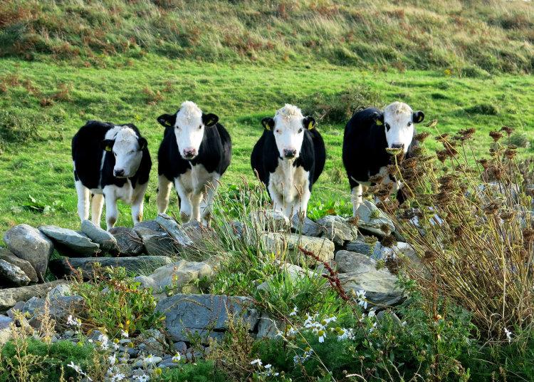 68. Eallach, Curious Cattle