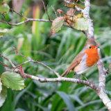 126. Spideog; Robin